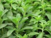 şeker Otu Stevia Fidesi (5 Adet)