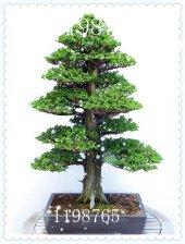 Japon Sedir Ağacı Tohumu Semillas Bonsai (1 Paket 50 Adet)