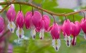 Pembe Fuşya Fener Çiçeği Tohumu 10+ Tohum****