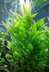 Tütün (Hygrophila Corymbosa) 1 Kök Bitki Canlı Bitki
