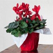 Seklemen Şıklamen Çiçeği (Kırmızı Renkli)