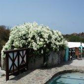 Tüplü Beyaz Renkli Begonvil Fidanı 5 Yaş (150 200 Cm)