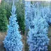 Tüplü Aşılı Mavi Ladin Fidanı(30 40 Cm)