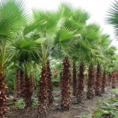 Tüplü Washingtonia Robusto Palmiye Ağacı Fidanı (100 150 Cm)