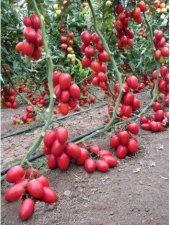 Saksılık Zeytin Cherry Domates 25+tohum
