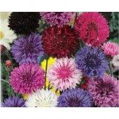 şifalı Karışık Renkli Kantaron Çiçeği