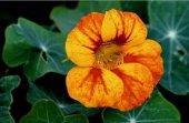 Latin Çiçeği Tohumu (Nasturtium Majus)