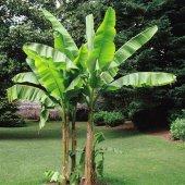 Muz Tohumu (Musa İcecream Banana)