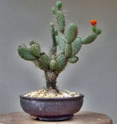 Opuntia Hint İnciri Tohumu (Opuntia Bonsai)
