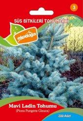 Bir Paket (200 Adet) Mavi Ladin Tohumu Çam Tohumu Mavi Ladin Çam Ağacı Tohumu Çam Tohumu Ücretsiz Kargo