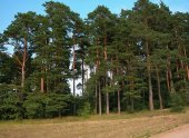 Sarıçam Tohumu 10 Gr (1.000 Adet) Pinus Sylvestris Tohumu Çam Tohumu Sarıçam Ağacı Tohumu Sarıçam