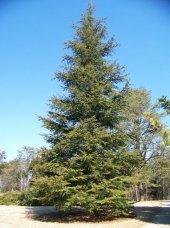 Toros Sediri Tohumu 1 Kg (14.000 Adet) Sedir Ağacı Tohumu Lübnan Sediri Tohumu Çam Ağacı Tohumu