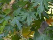 Platanus Orientalis Tohumu 15 Gr (3.000 Adet) Çınar Ağacı Tohumu Çınar Tohumu Doğu Çınarı Tohumu