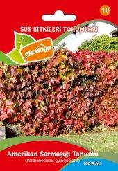 Amerikan Sarmaşığı 1 Paket (100 Adet) Parthenocissus Quinquefolia Tohumu Sarmaşık Tohumu Amerikan Sarmaşığı