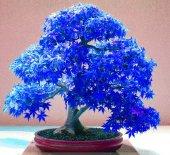 Nadir Mor Mavi Bonsai Akçaağaç Ağacı 5adet Tohum (Bc1902)