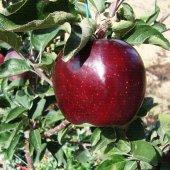 Scarlet Spur Elma Fidanı(Tüplü) 3 Yaş Aşılı