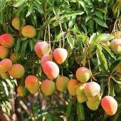 Aşılı 4 Yaş Mango Fidanı 120 Cm Üzeri (Sınırlı Stok)