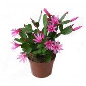 Yılbaşı Çiçeği Pembe 20x30 Cm