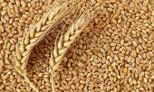 Buğday 5 Kg Yem Tavuk,hindi,güvercin
