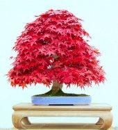 Iyikan Akçaağaç Bonsai Yapılabilir Ağaç Set' İ
