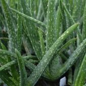 Aloevera Bitkisi 20 Cm Doğal Krem Şifalı Bitki Sarısabır (Bitkiler Dekor Saksı İçinde Gönderilir)