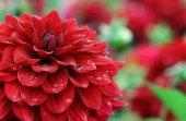 Hollanda' Dan İthal Yıldız Çiçeği (Dehlia) Çiçeği Tohumu (25 Tohum)