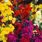 Kokulu Şebboy Çiçeği Tohumu + Çimlendirme Torfu
