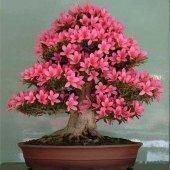 Acelya Bonsai Yapılabilir Ağaç Tohumu
