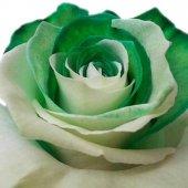 Yeşil Beyaz Gül Tohumu