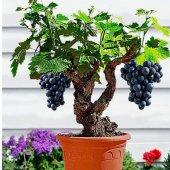 Bonsai Yapılabilir Bodur Siyah Üzüm Ağacı Tohumu