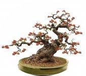Bonsai Yapımına Uygun Bombax Ağacı Tohumu Ekim Seti